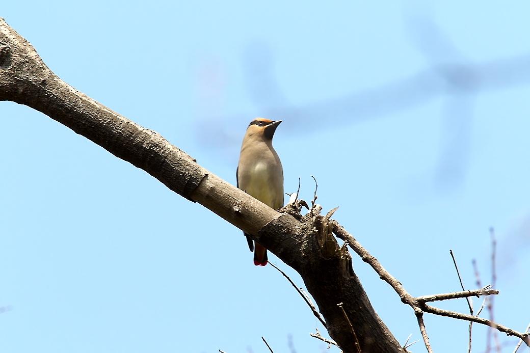 1羽が撮りやすい枝に来た_4