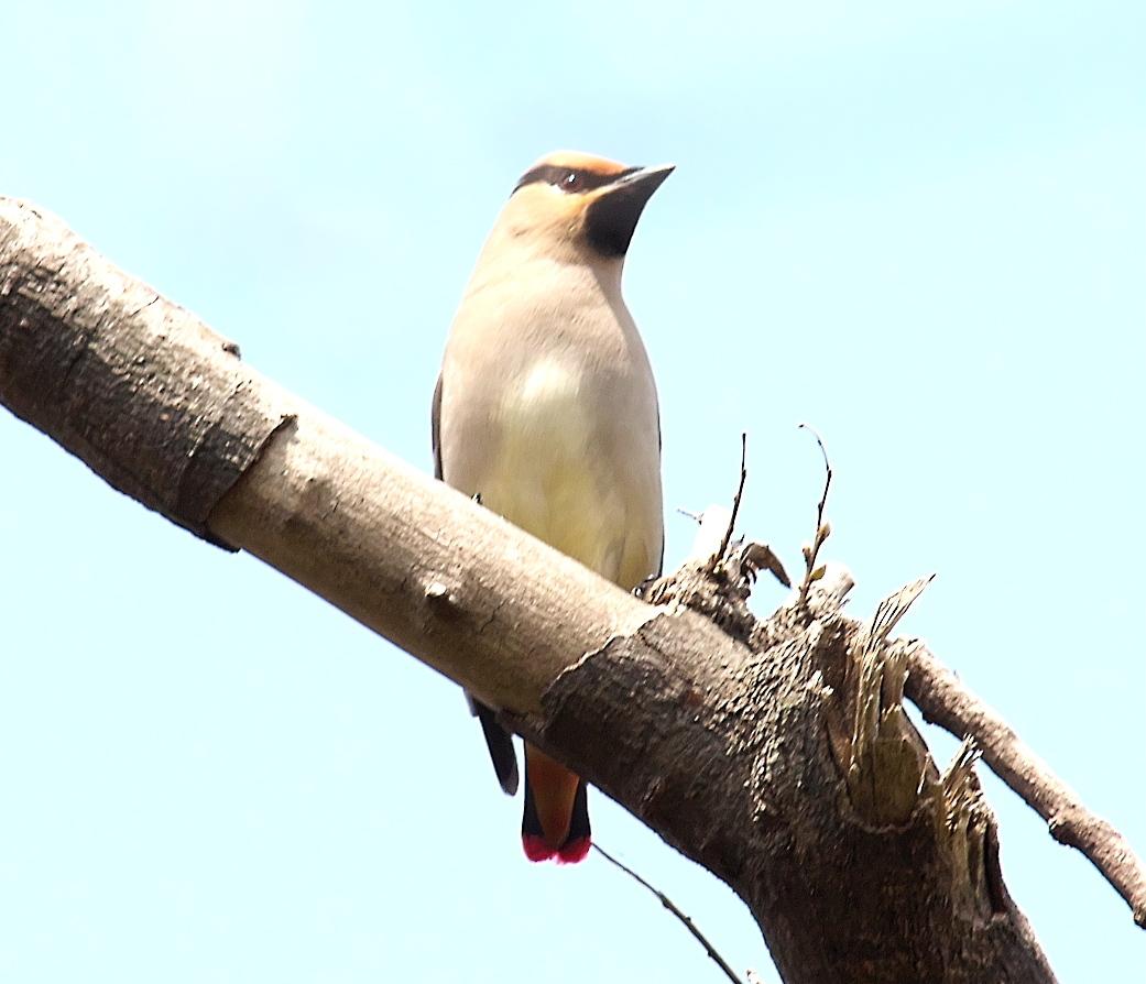 1羽が撮りやすい枝に来た_5