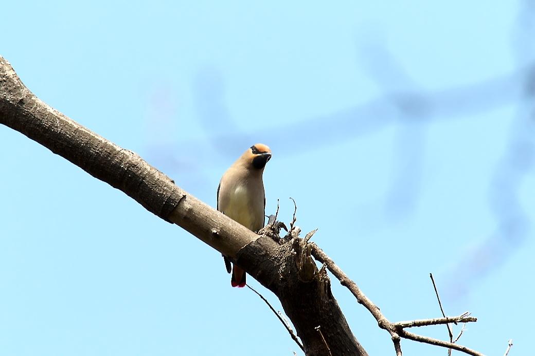 1羽が撮りやすい枝に来た_6