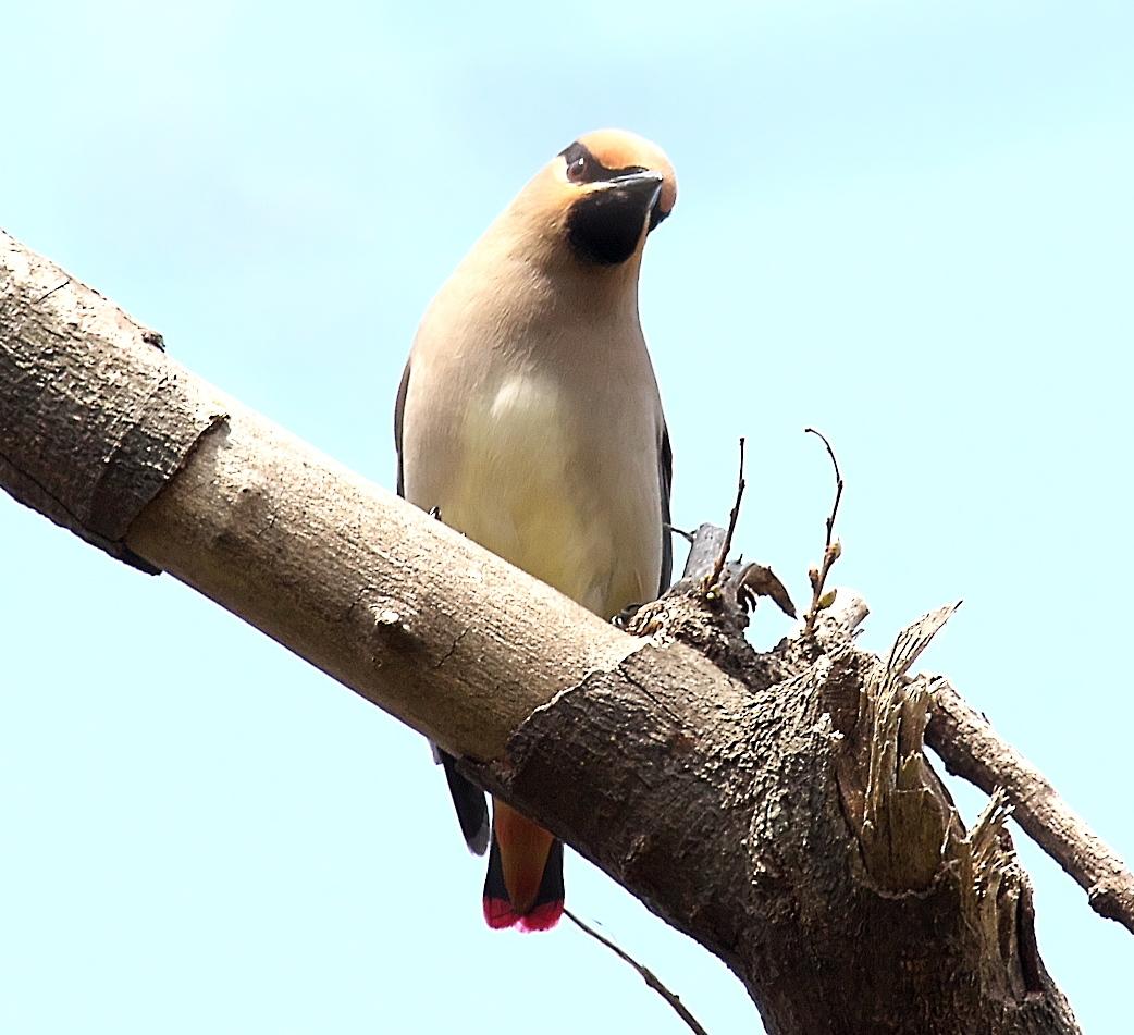 1羽が撮りやすい枝に来た_7