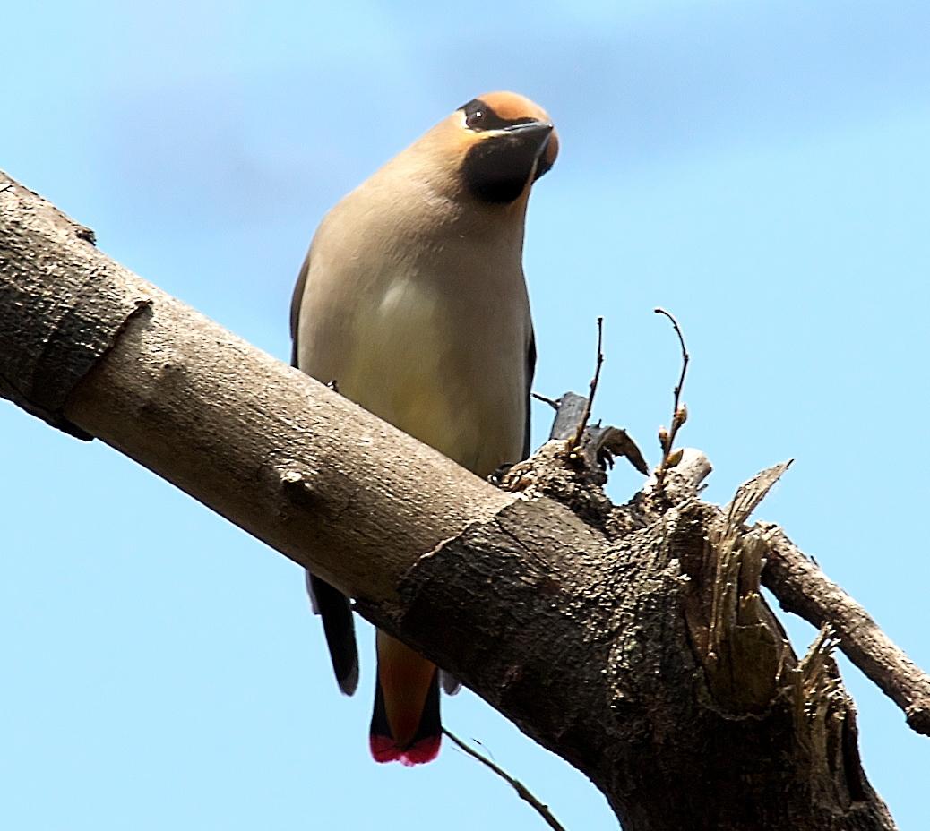 1羽が撮りやすい枝に来た_8