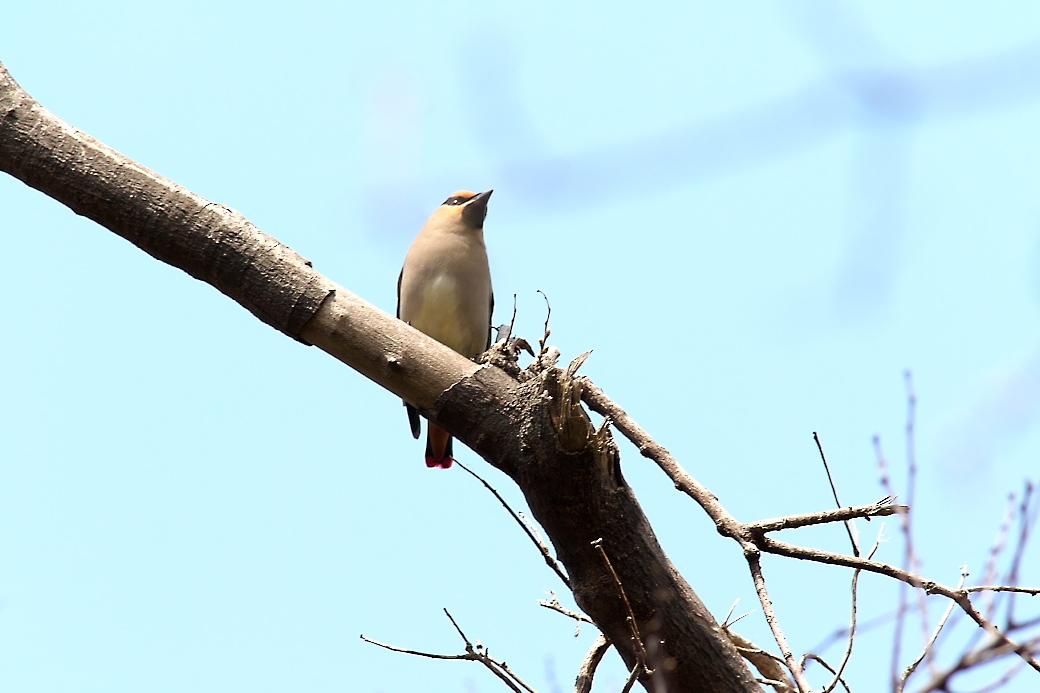 1羽が撮りやすい枝に来た_9