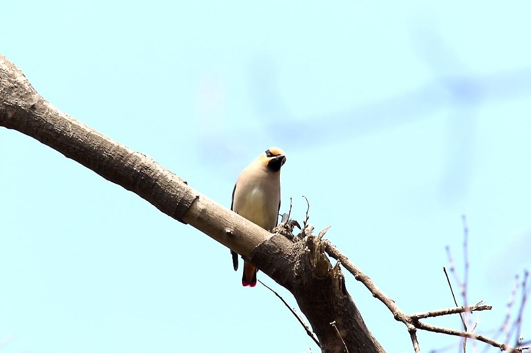 1羽が撮りやすい枝に来た_10