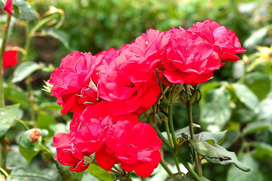 バラの花(1)_2