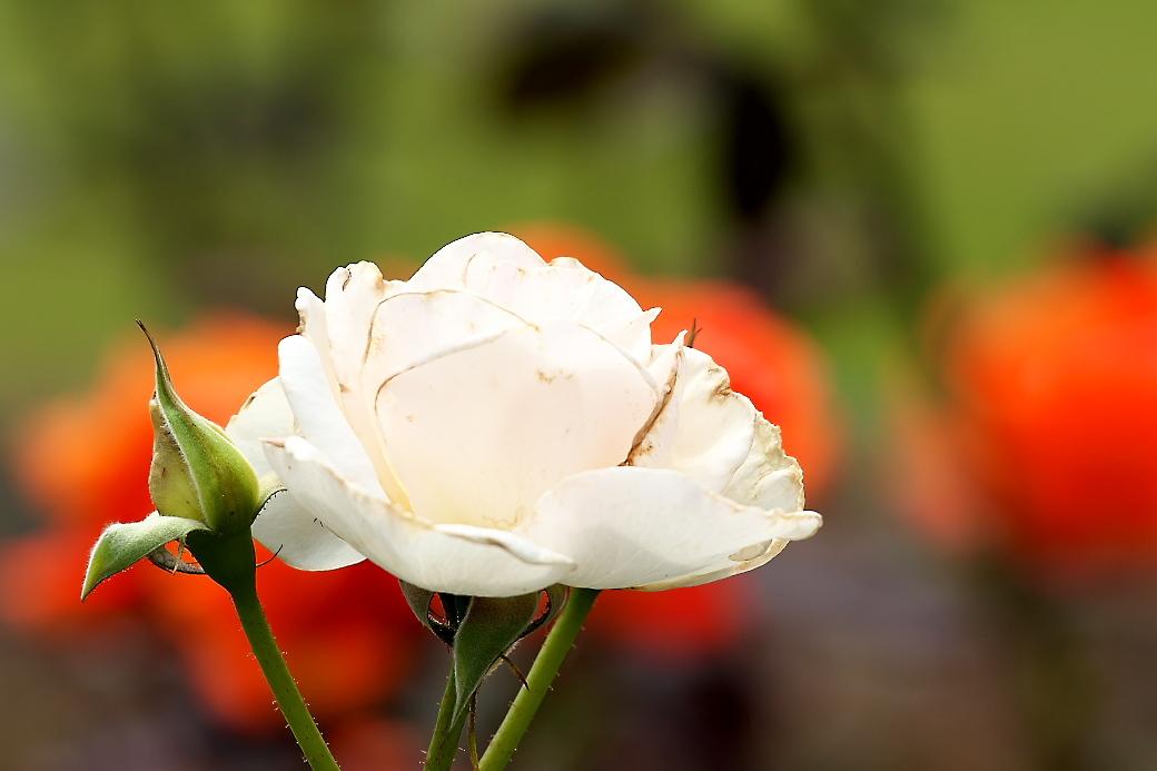 バラの花(1)_3