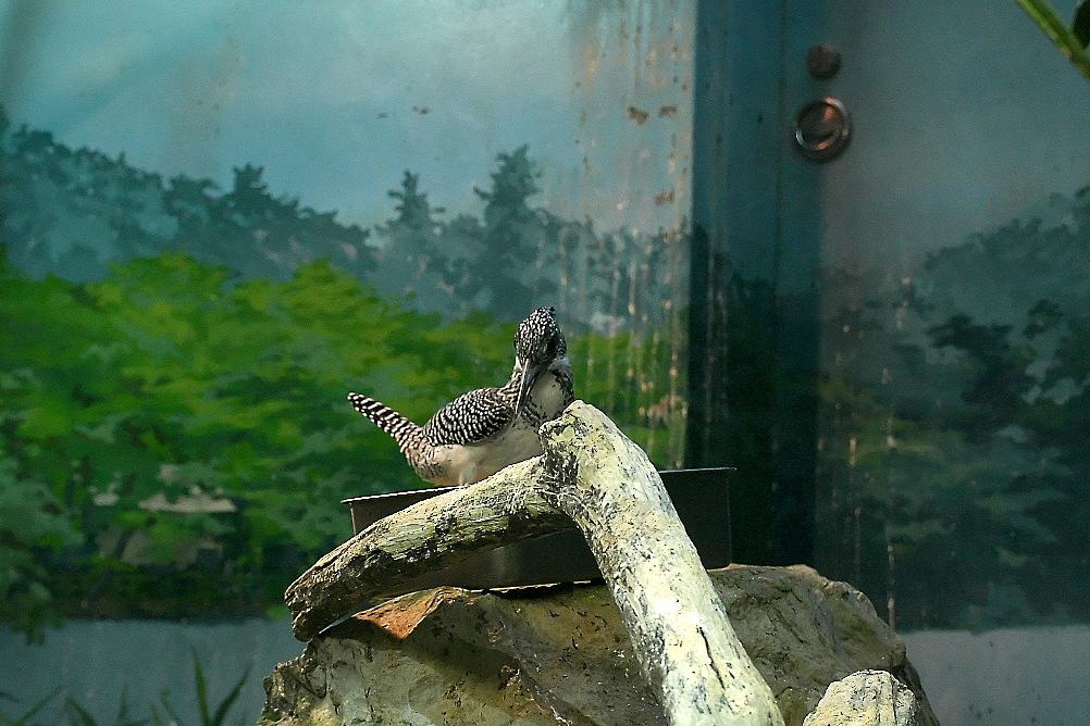 ヤマセミとカイツブリとがいるケージ_01