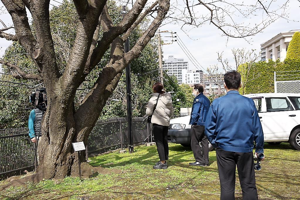 気象台と桜の標準木_3