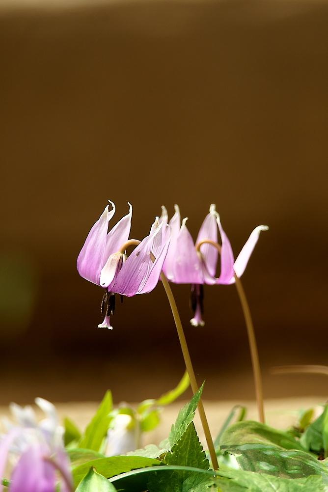 カタクリの花_7