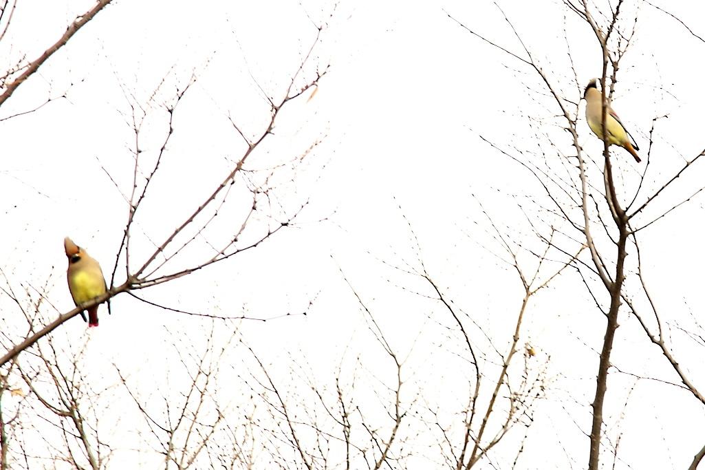 ヒレンジャク_12