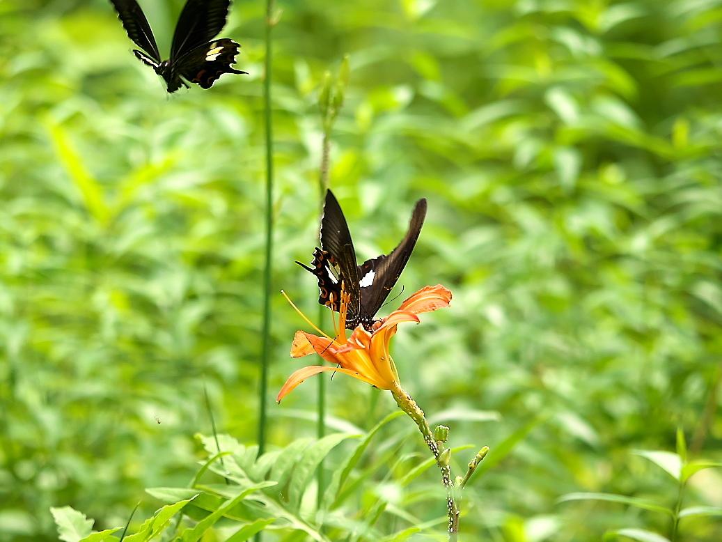 蝶が絡む様子_4