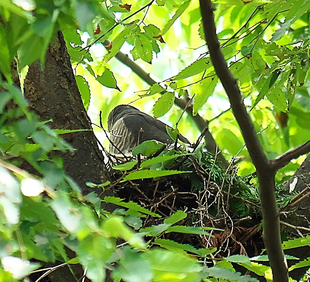巣に戻った親鳥_1
