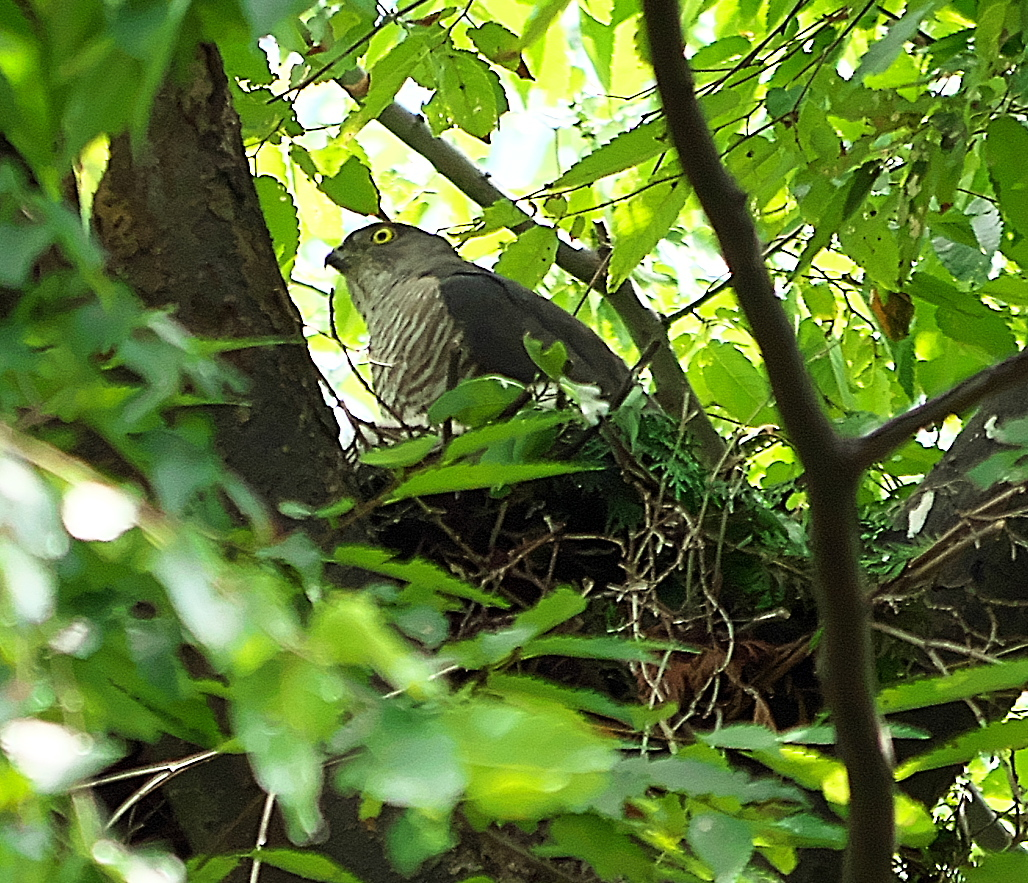 巣に戻った親鳥_2