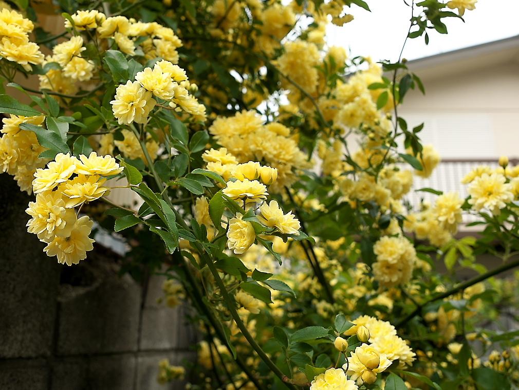 途中の民家の庭先に咲いていた花_2