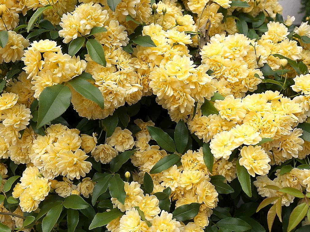 途中の民家の庭先に咲いていた花_3
