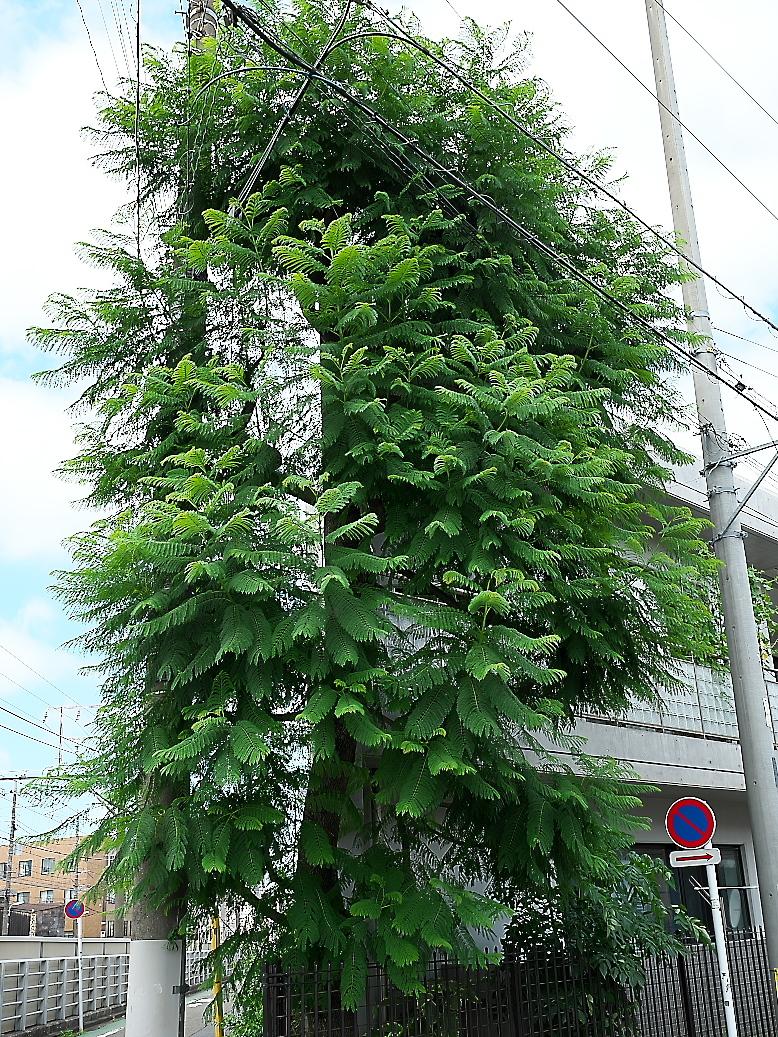 ジャカランダの木_1