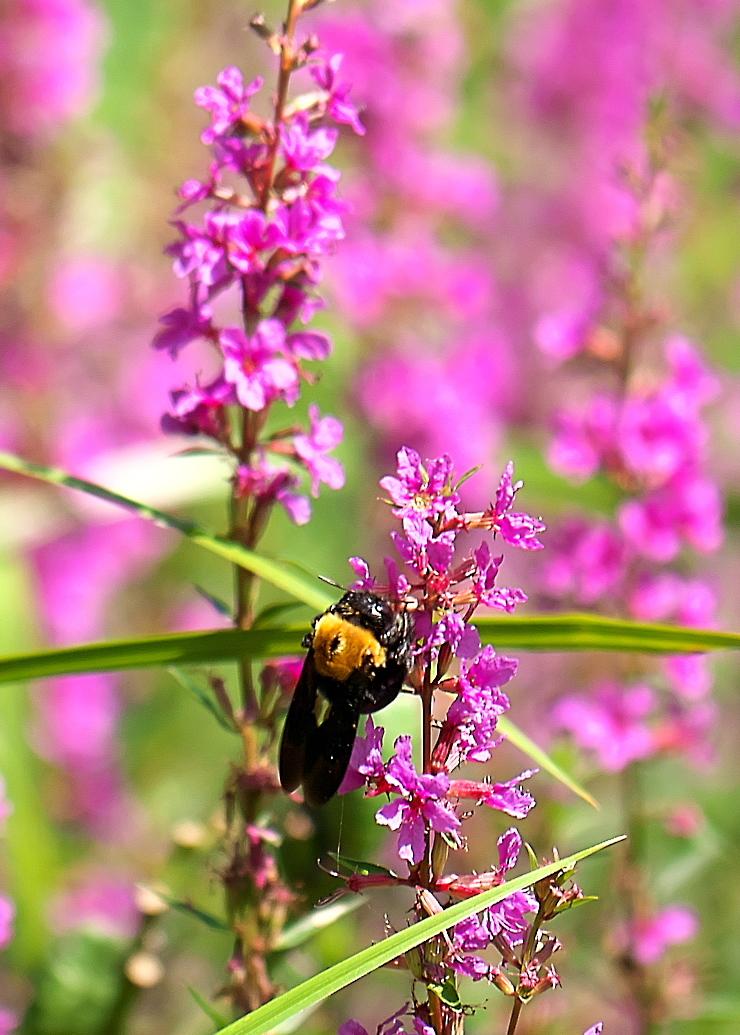 ミソハギとクマバチ_1