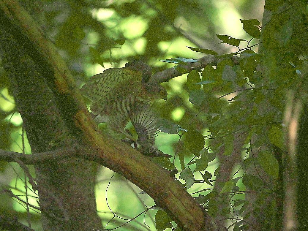 捕まえた位置から数mほどの木の枝で食べようとし始めた_3