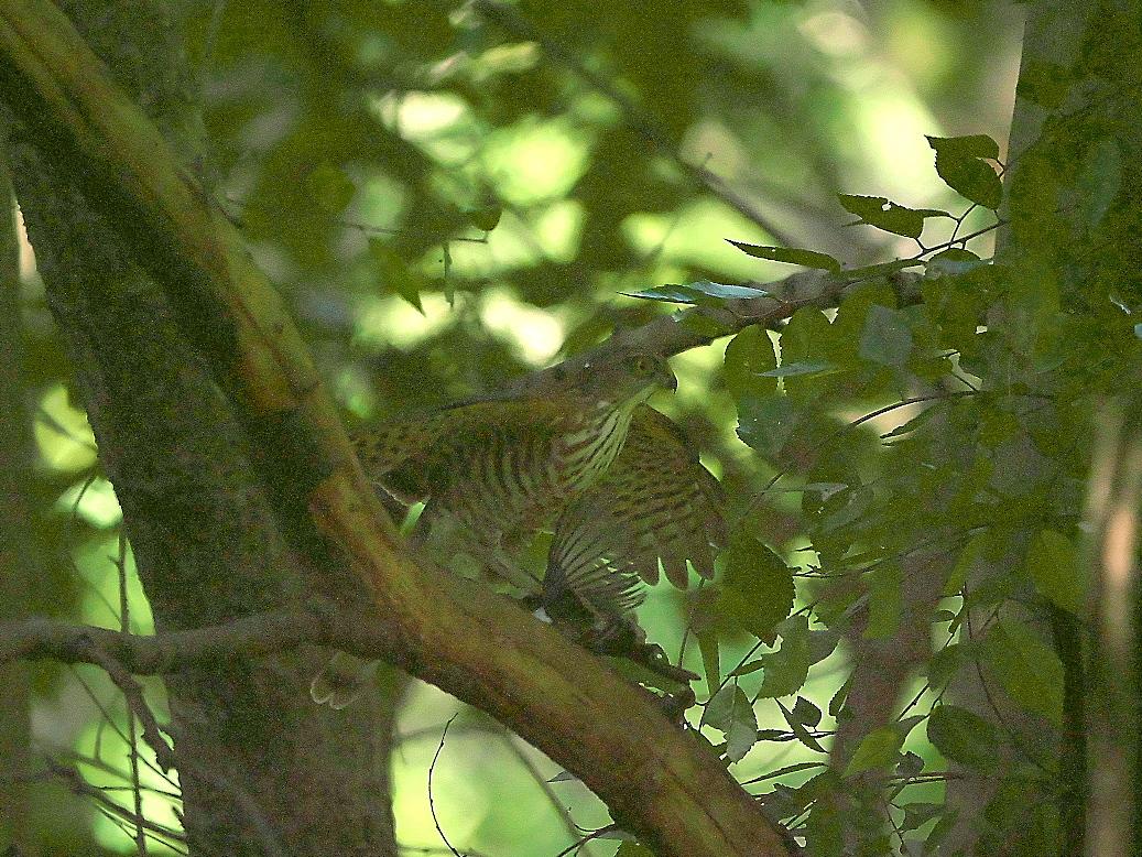捕まえた位置から数mほどの木の枝で食べようとし始めた_4
