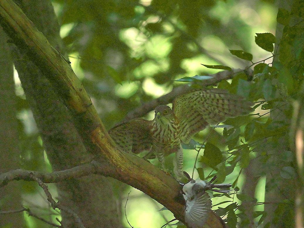 捕まえた位置から数mほどの木の枝で食べようとし始めた_9