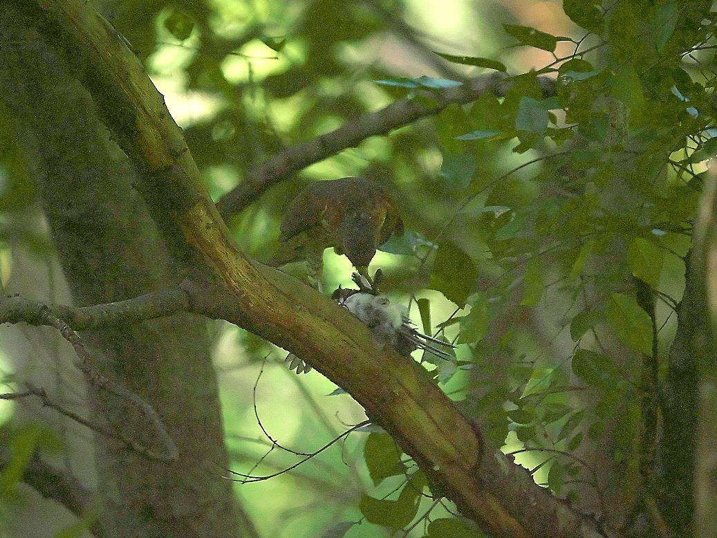 捕まえた位置から数mほどの木の枝で食べようとし始めた_13