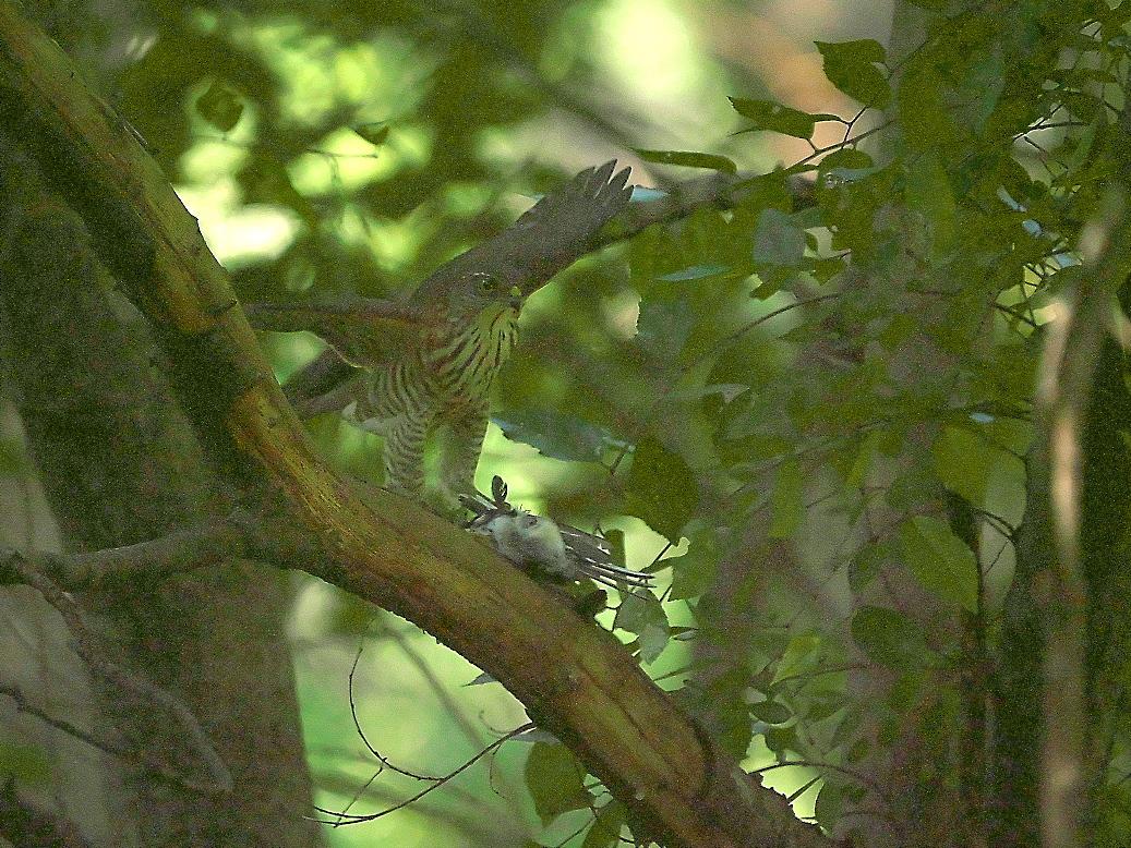 捕まえた位置から数mほどの木の枝で食べようとし始めた_14