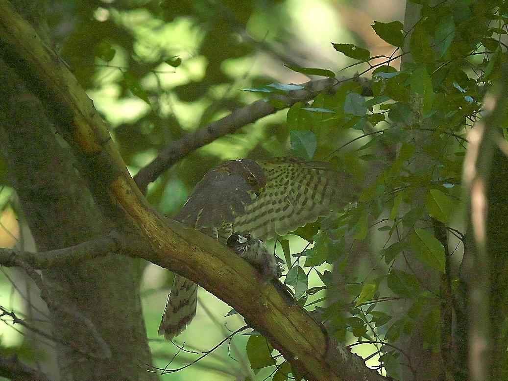 捕まえた位置から数mほどの木の枝で食べようとし始めた_17