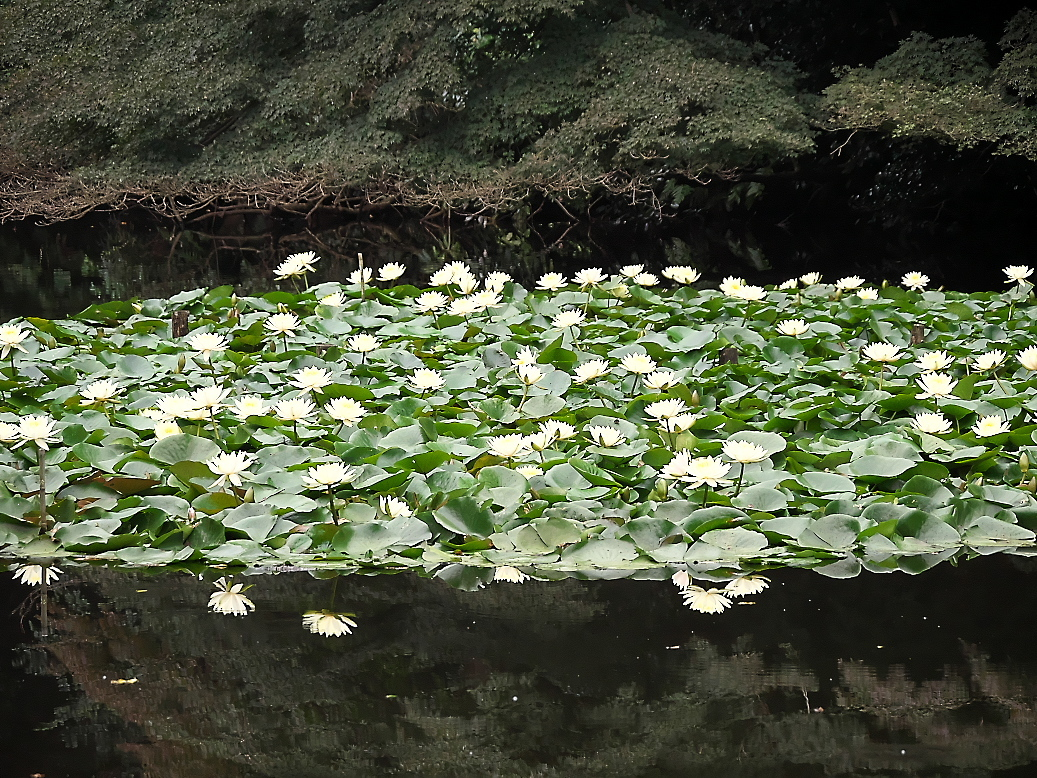南池の睡蓮と河骨_4