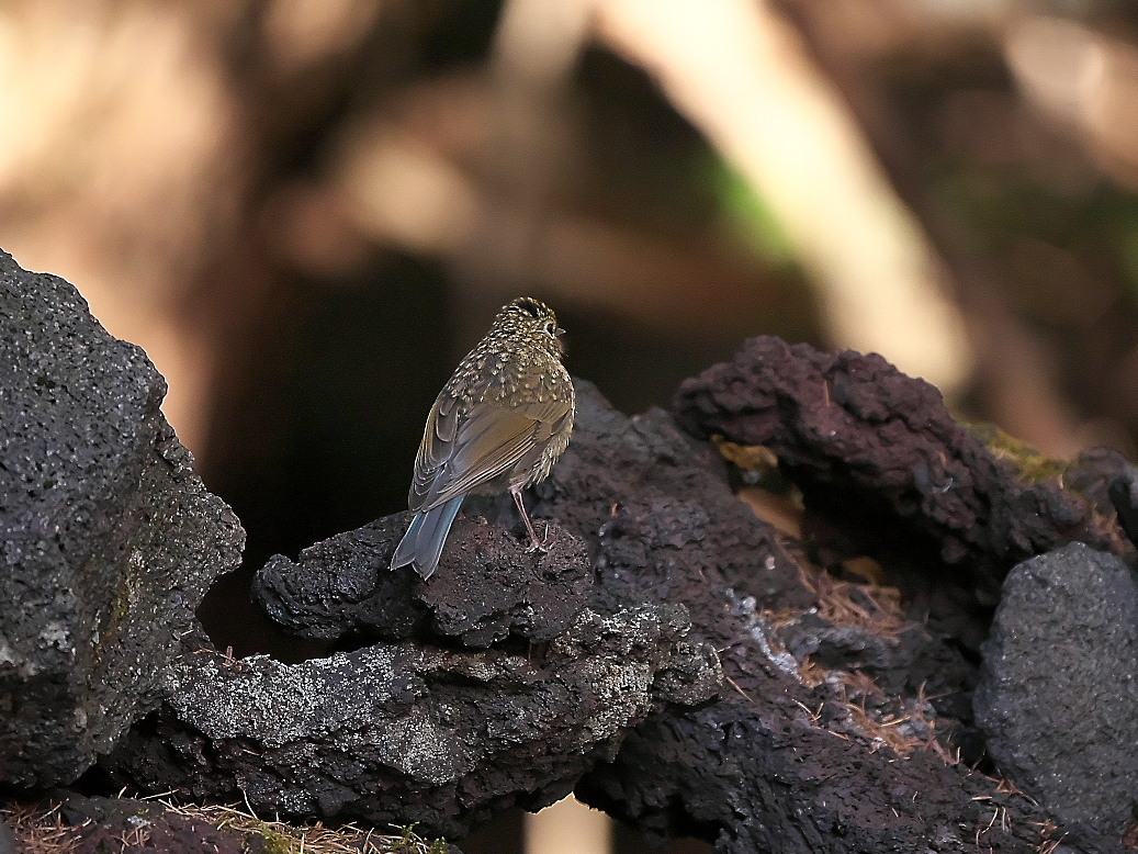 ルリビタキ幼鳥_3