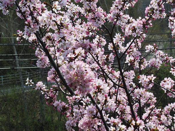 2020 蝦夷山桜 八分咲き