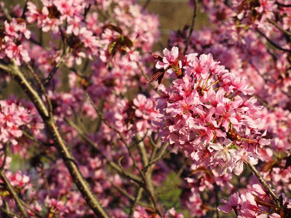 2020 蝦夷山桜 満開
