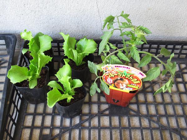 中村種苗のレタスの苗 ホーマックの中玉トマト