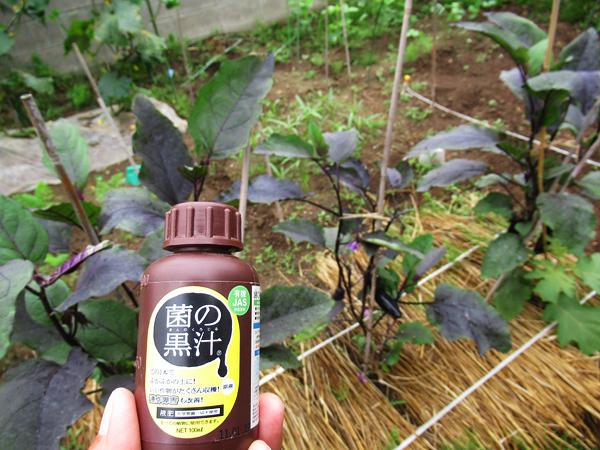 ナス 青枯病 菌の黒汁