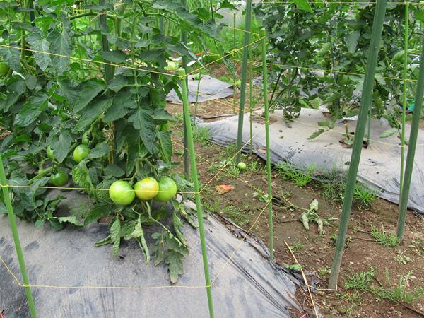 トマト カラスよけ 水糸