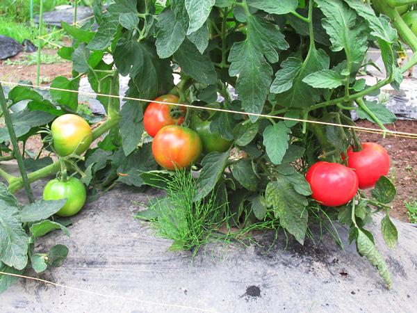 大玉トマト 完熟