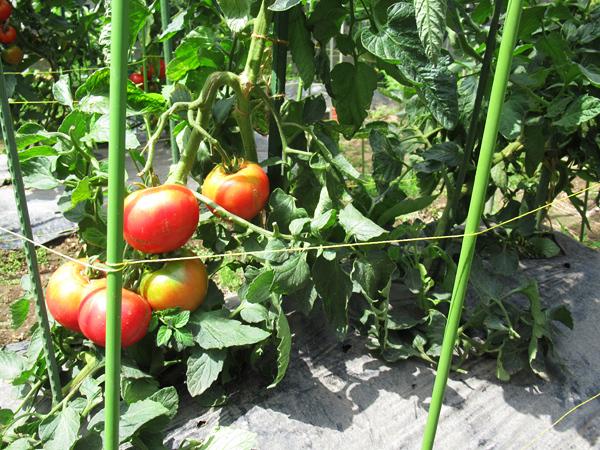 大玉トマト 捻枝 第2・3果房