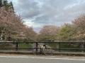 210403玉川の橋本橋からの桜