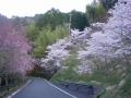 200404大正池から和束側下りの桜