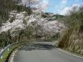 200404大正池を井手方面へ下る道すがらの桜