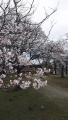200329中央公園の桜