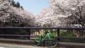 200404玉川橋本橋の桜