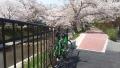 200404上狛城陽線沿い、上玉川橋付近の桜