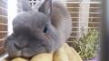 200502のんびりくつろぐウサギ
