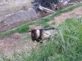 201219下永橋のヤギに挨拶