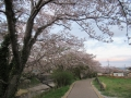 210403桜を楽しみつつ玉川を下る