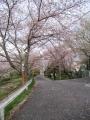 210403かなり散り始めた桜