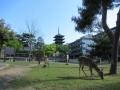 210503興福寺五重塔と鹿