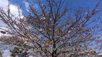 びわ湖大橋米プラザのサクラがチラホラ咲きになりました(YouTubeムービー)