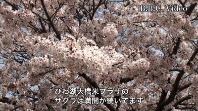 いい天気の土曜日!! びわ湖大橋米プラザのサクラ満開続く(YouTubeムービー)