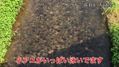 天神川のコアユとハス(YouTubeムービー)
