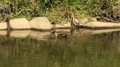 カルガモが小魚を捕まえる瞬間(YouTubeムービー)